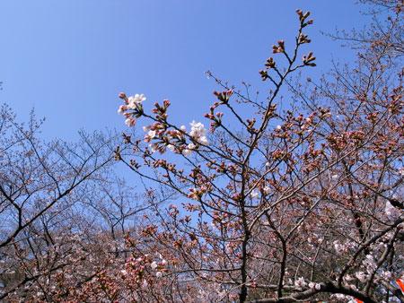 uenosakura2.jpg